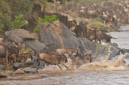 Wildebeests Jump In