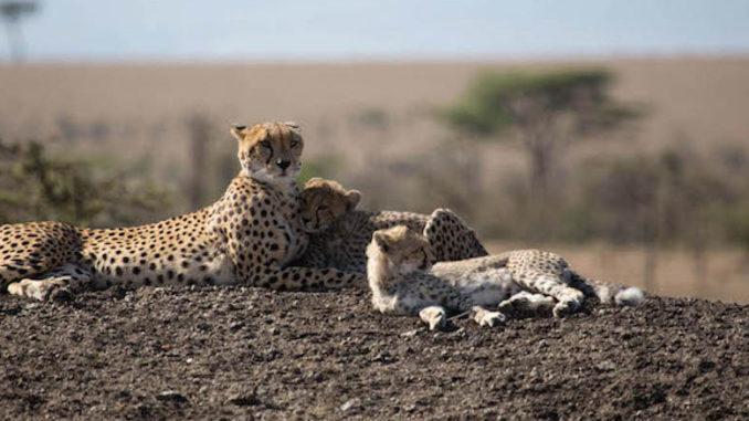 Man Among Cheetahs Naborr
