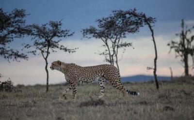 Naborr Man Among Cheetahs