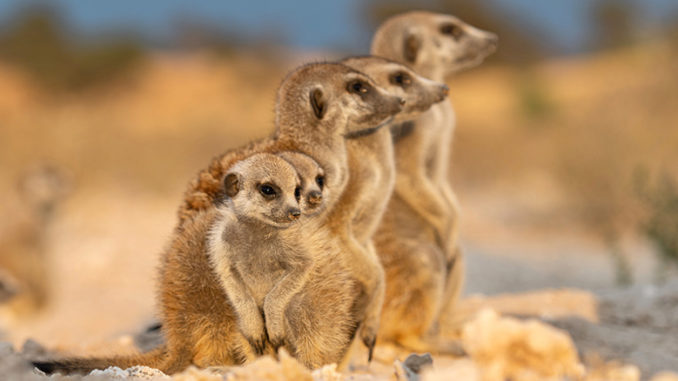 Meerkat Manor Rise of the Dynasty